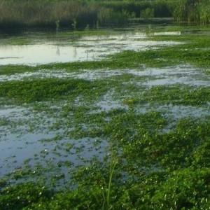 Ряска болотная
